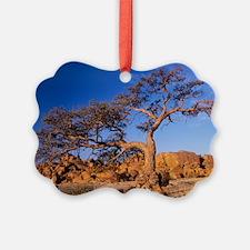 Camel thorn tree (Acacia erioloba) - Ornament