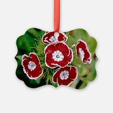 Sweet William (Dianthus barbatus) - Ornament