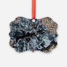 Sea kale plant (Crambe maritima) - Ornament