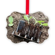 Courgette seedlings - Ornament