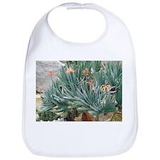 Fan aloe (Aloe plicatilis) - Bib
