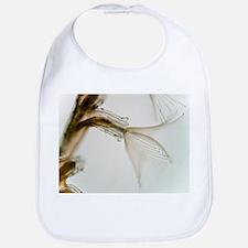 Plumatella bryozoa, light micrograph - Bib