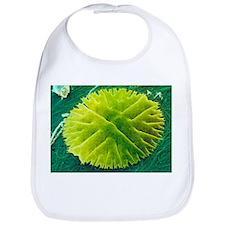 Green alga, Micrasterias - Bib
