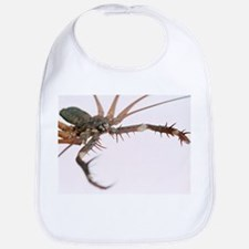 Tailless whipscorpion - Bib