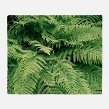 Lady fern fronds (Athyrium filix-femina) - Stadiu