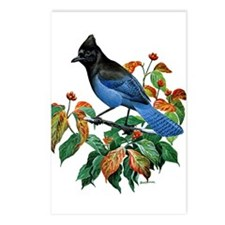 A Blue Stellers Jay in Dogwood Tree Postcards (Pac