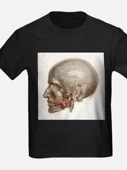 Head vascular anatomy, historical artwork - Kid's