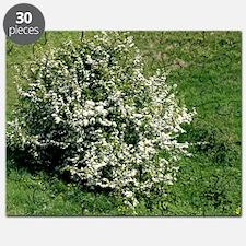 Hawthorn (Crataegus oxyacantha) - Puzzle
