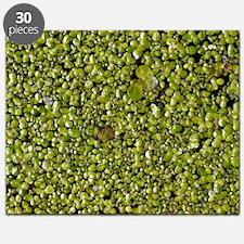 Three species of Duckweed (Lemnaceae) - Puzzle