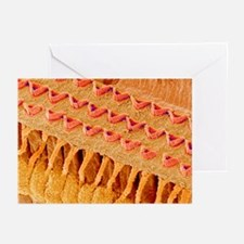 Sensory hair cells in ear, SEM - Greeting Cards (P