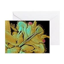Bed bug, SEM - Greeting Cards (Pk of 20)