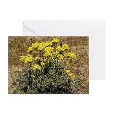 Eriogonum umbellatum - Greeting Card
