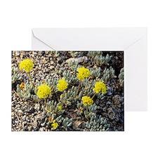 Mt Rose buckwheat (Eriogonum rosense) - Greeting C