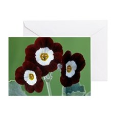 Show auricula 'Old Red Elvet' flowers - Greeting C