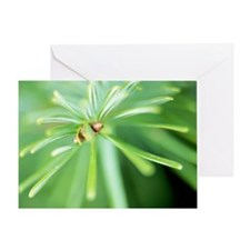 Conifer leaves - Greeting Card