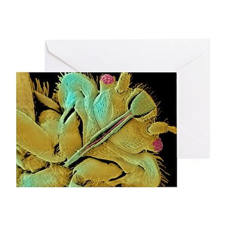 Bed bug, SEM - Greeting Card
