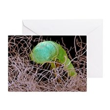 Carpet beetle larva, SEM - Greeting Card