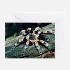 Mexican redknee tarantula - Greeting Card