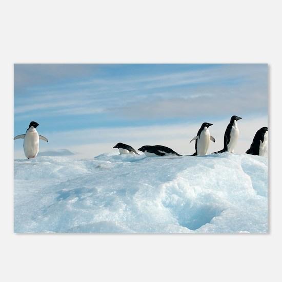 Adelie penguins - Postcards (Pk of 8)
