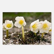 Christmas Rose (Helleborus niger) - Postcards (Pk