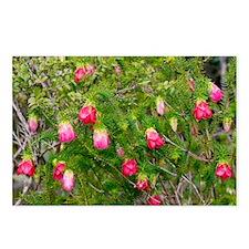 Common Mountain Bell (Darwinia lejostyla) - Postca