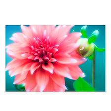 Dinner plate dahlia (Dahlia sp.) - Postcards (Pk o