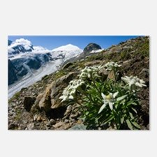 Edelweiss and glacier - Postcards (Pk of 8)