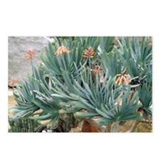 Fan aloe (Aloe plicatilis) - Postcards (Pk of 8)
