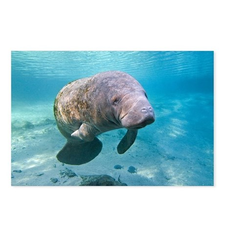 Florida manatee swimming - Postcards (Pk of 8)