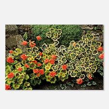 Garden geraniums - Postcards (Pk of 8)
