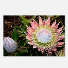 King protea (Protea cynaroides) flowers - Postcard