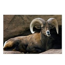 Male Desert Bighorn Sheep - Postcards (Pk of 8)