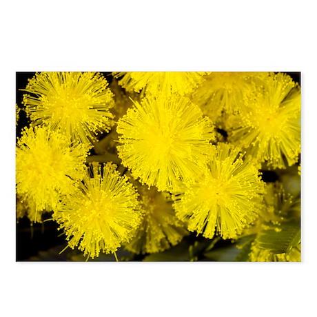 Mimosa (Acacia dealbata subalpina) - Postcards (Pk
