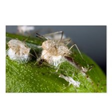 Parasitised aphids - Postcards (Pk of 8)