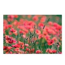 Poppies (Papaver rhoes) and grass - Postcards (Pk