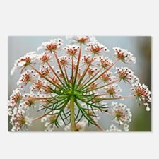 Queen Anne's lace (Daucus carota) - Postcards (Pk