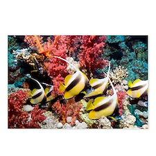 Red Sea bannerfish - Postcards (Pk of 8)