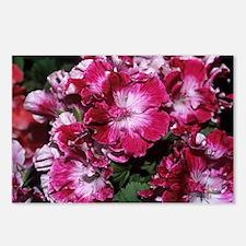 Regal geranium 'Peter's Choice' flowers - Postcard