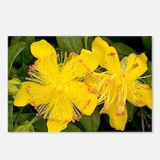 Rose-of-Sharon (Hypericum calycinum) - Postcards (