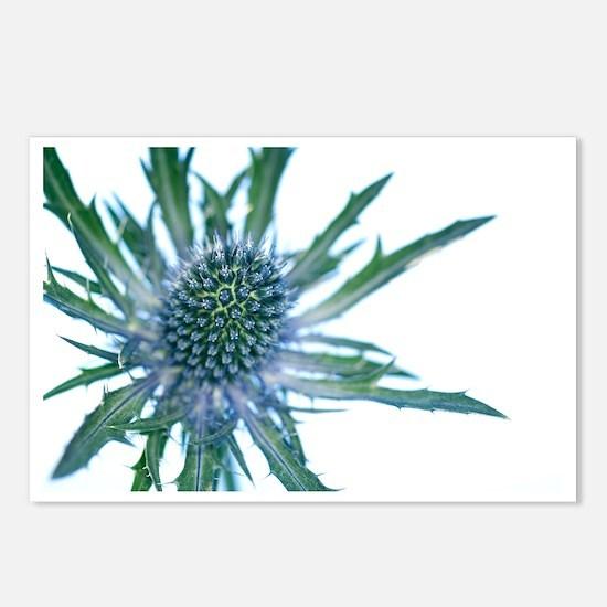 Sea holly (Eryngium sp.) - Postcards (Pk of 8)