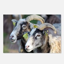 Sheep from Gotland, Sweden - Postcards (Pk of 8)