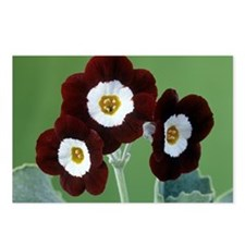 Show auricula 'Old Red Elvet' flowers - Postcards