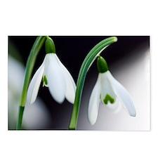 Snowdrop (Galanthus nivalis) - Postcards (Pk of 8)