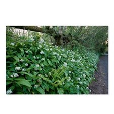 Wild garlic in woodland - Postcards (Pk of 8)