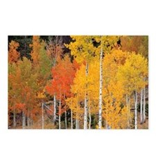 Autumn Aspen trees - Postcards (Pk of 8)