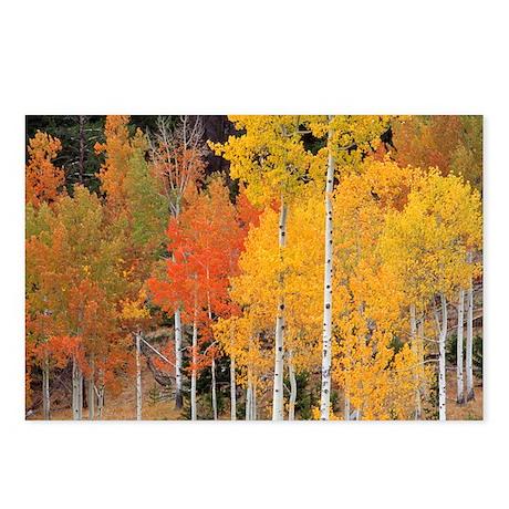 Autumn Aspen trees - Postcards (Pk of 8)