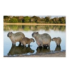 Capybara family - Postcards (Pk of 8)
