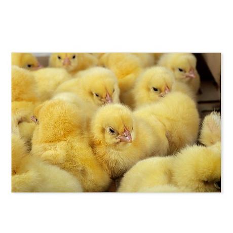 Chicks - Postcards (Pk of 8)