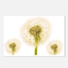 Dandelion seed heads - Postcards (Pk of 8)