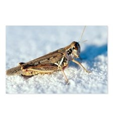 Desert locust, on white gypsum - Postcards (Pk of
